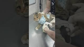 Снятие внутривенного катетера у кошки