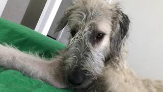 20210307 wolfhound lounging on a lazy Sunday afternoon