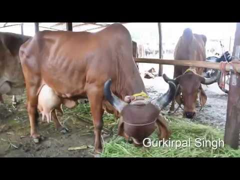 Gir cow from Maharashtra