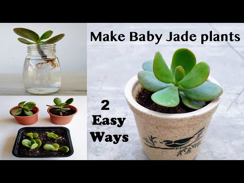 2 Easy Ways to Propagate Your Jade Plant (Crassula ovata) | Rooting Stem Cuttings in (Water + Soil)