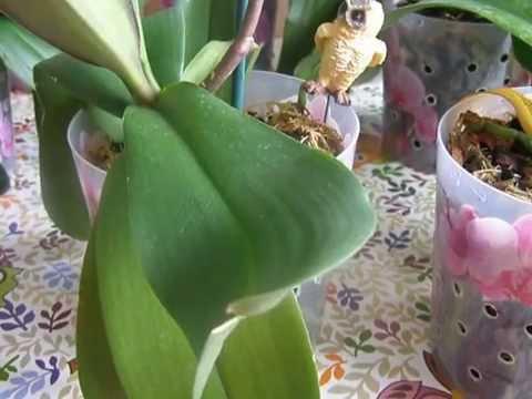 Орхидея Фаленопсис. Корни проросли в дренажное отверстие. Что делать?