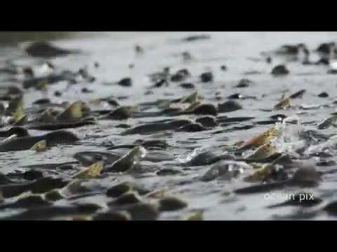 Salmon Forest (official trailer) a film by Ocean Pix