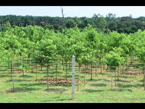 Agarwood plantation walk-through with Plantations International
