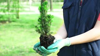 Iglaki - jak sadzić i nawozić?