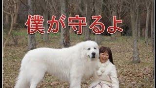 超大型犬の彼らですが子犬のころから家族と生活することによって大変忠...