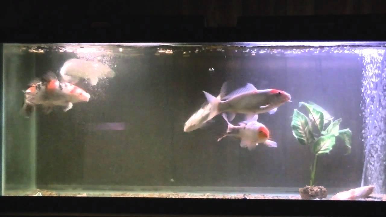 Pet store koi fish youtube for Koi fish store