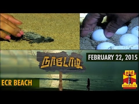 Naadodi : Turtle Walk at Neelankarai Beach, Chennai (22/2/2015) - Thanthi TV