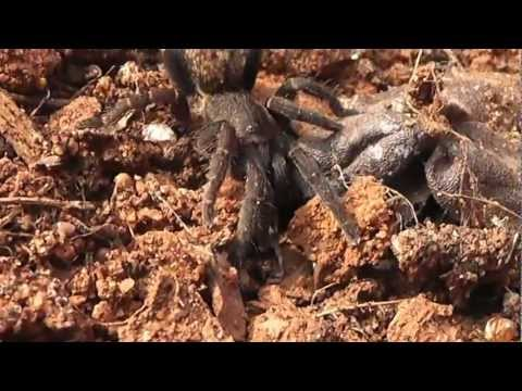 South African Spider