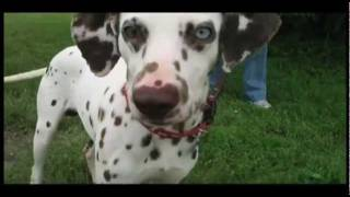 Dalmatian Rescue Of North Texas