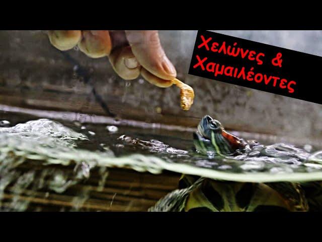 Χελώνες & Χαμαιλέοντες | Feeders Strs ep 41