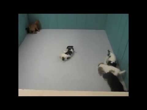 Cavalier King Charles Spaniel, Puppies, Dogs, For Sale, In Huntington, County, West Virginia, WV