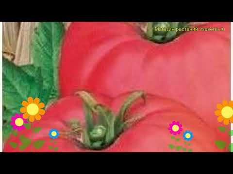 Томат обыкновенный Чудо Земли. Краткий обзор, описание характеристик, где купить семена
