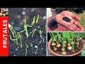 Como sembrar cebolla paso a paso - Temas que tienes que saber - Parte 1