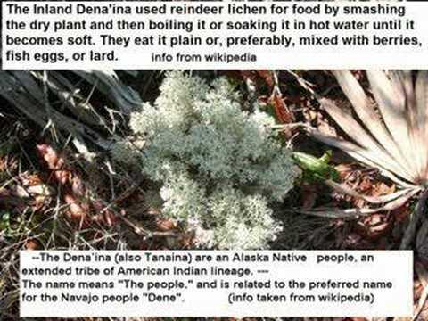 Reindeer lichen -Cladonia rangiferina-