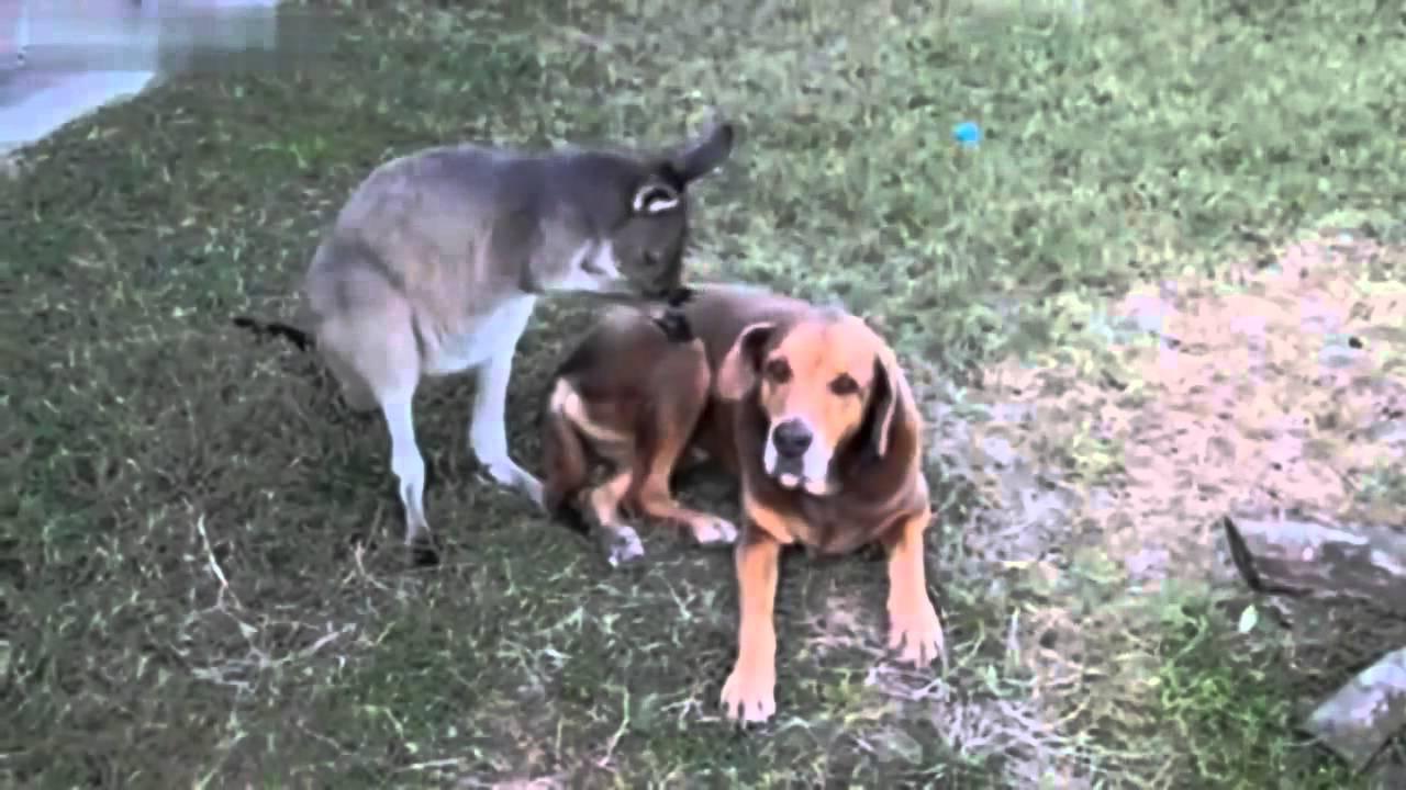 Кенгуру и собака Настоящие друзья - товарищи - YouTube