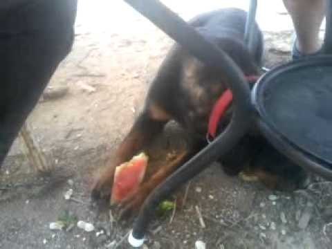 Dogs Love Throwing Gnawing BB Called Watermelon Toys ...  |Dogs Love Watermelon