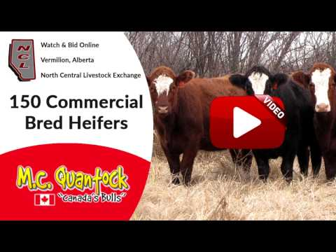 Bred Heifers For Sale in Alberta | NCL Vermilion