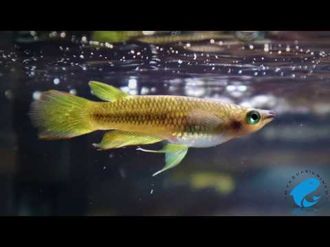 Golden Wonder Killifish Care & Information - Striped Panchax Care Guide