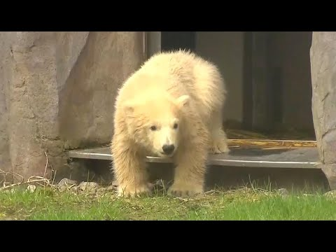 Baby Polar Bear Takes Its First Steps Outside