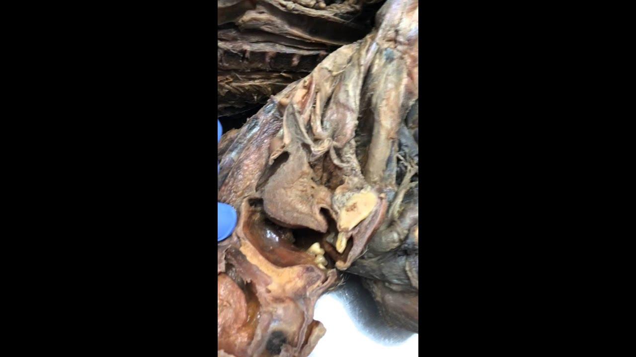 anatomia digestivo Ballesteros Faringe y esofago - YouTube