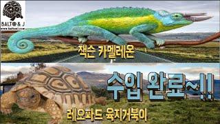 레오파드 육지거북이 + 잭슨 카멜레온 파충류 수입완료~…
