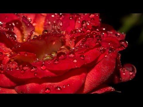 🌹🔸- Красивые пожелания и розы! -🔸🌹