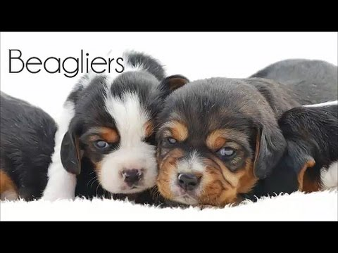 Active Beaglier Puppies