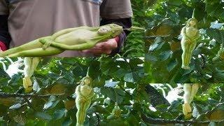 Kadın Şeklinde Meyve Veren Nareepol Ağacı : İyi ki Türkiye'de Değil