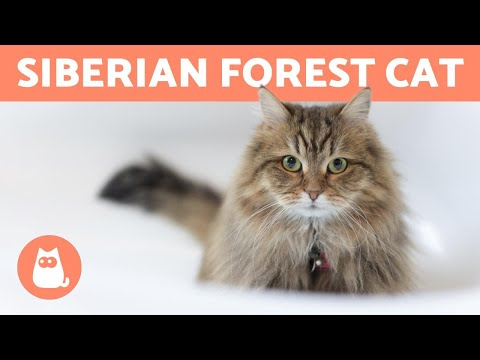 SIBERIAN CAT - Characteristics, Care and Health