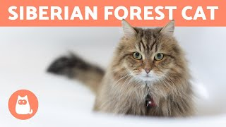 SIBERIAN CAT  Characteristics, Care and Health