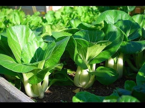 How To Grow Bok Choy In Containers Youtube
