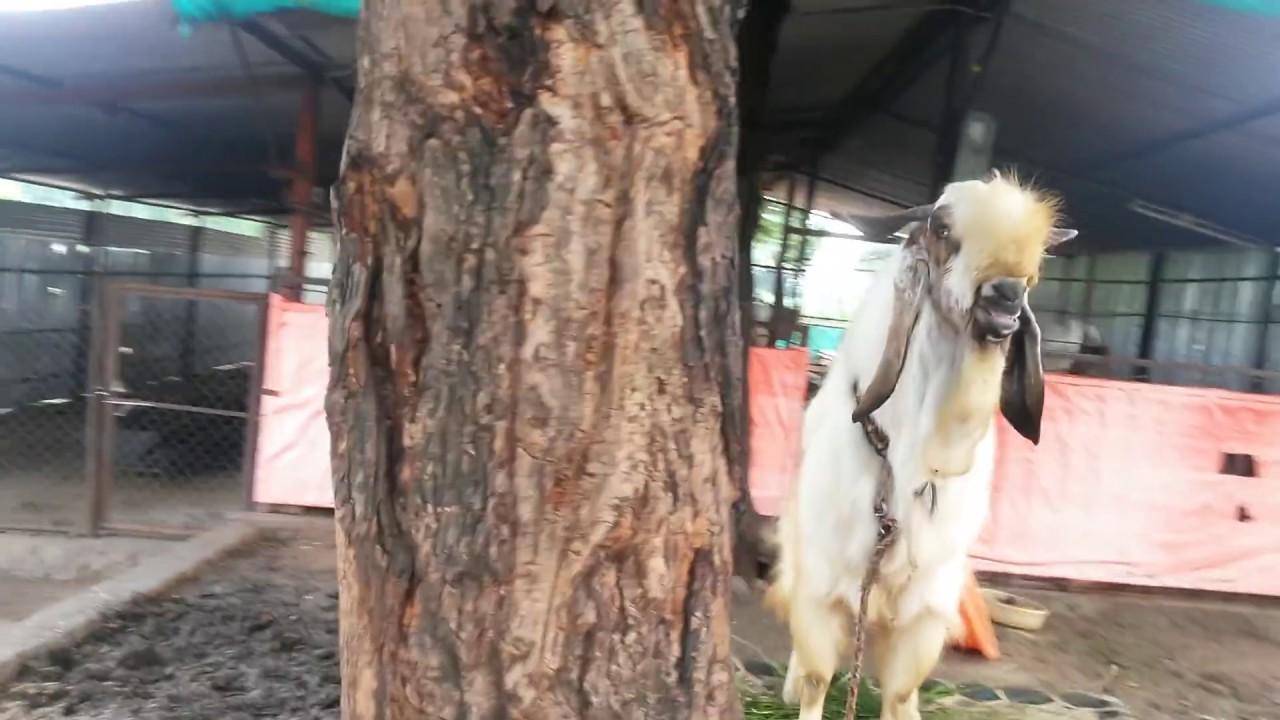 Jamnapari Goat