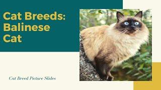 Balinese Slides  Cat Breeds