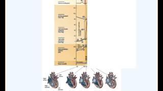 Cardiac Cycle (Wiggers Diagram), Human Physiology, undergraduate level