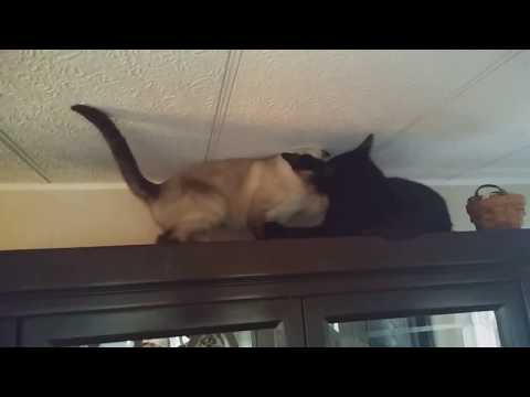 Cats Fight on China Cabinet