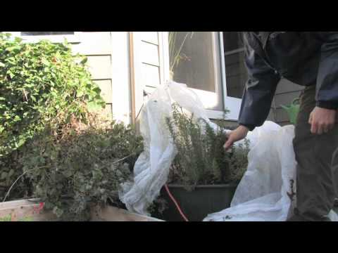Winterizing Rosemary