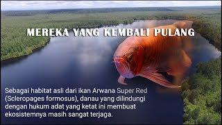 Keren dan mengharukan Kembalinya ikan Siluk ke habitat asalnya - The greatest moment of arowana life