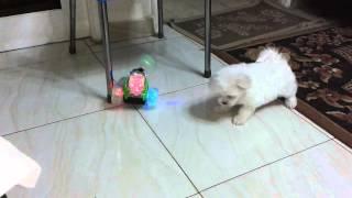 كلب لولو شقى 1