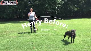 "6 Year Old Lab/Pit Mix ""Henry"" Before/After Video 