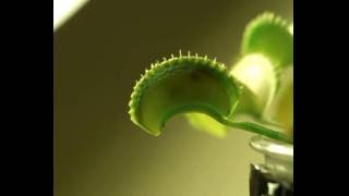 Two little flies caught in the same trap of a Venus Flytrap.