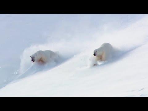 How To Play Like a Polar Bears! | Animal Attraction | BBC