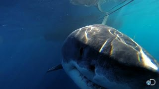 One of the Biggest Great Whites Ever Filmed | Jaws Strikes Back thumbnail