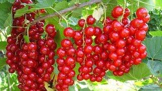 Правильная посадка черенков красной смородины. Весенний  результат.