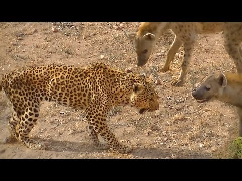 Old Leopard Is Bullied By Hyenas