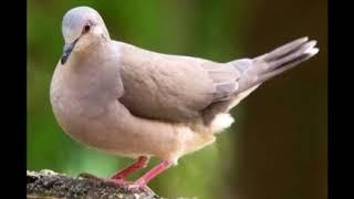 Download Mp3 Canto Do Pássaro Juriti