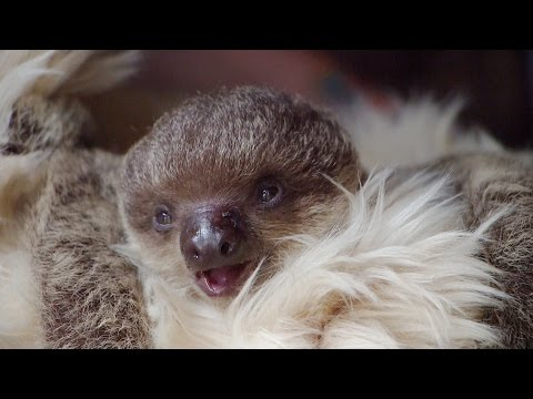Thumbnail: Baby Sloth Edward Will Melt Your Heart!