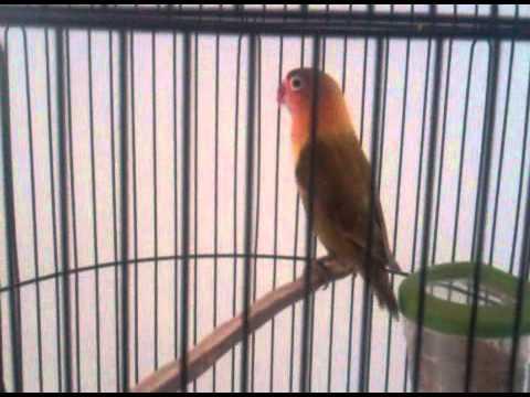 Lovebird muda belajar ngekek