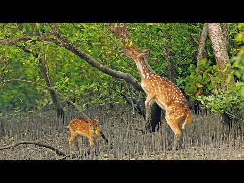 Mangrove Forest Sundarban – World's Biggest Mangrove Forest and Wild Animals of Sundarban