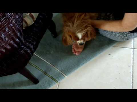 Inverted Sneeze: Cavalier Spaniel