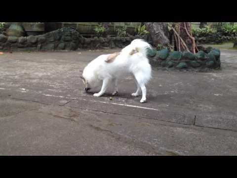 Japanese Spitz Pomeranian Mix Dog